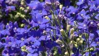 Diamonds Blue delphinium, true blue Super Plant