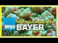 FAQ #26: Using Bayer as a coral dip - What recipe do we use?