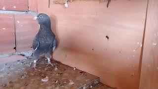Yeni güvercinimiz (ADANA)