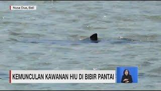 Penampakan Kawanan Hiu di Bibir Pantai Nusa Dua, BAli