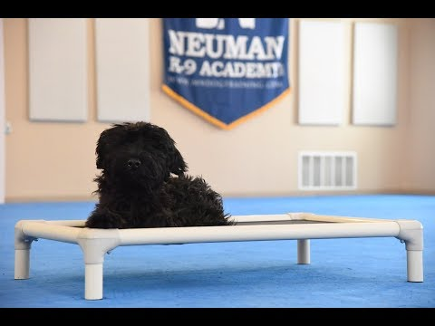 Greta (Giant Schnauzer) Puppy Camp Dog Training Video Demonstration