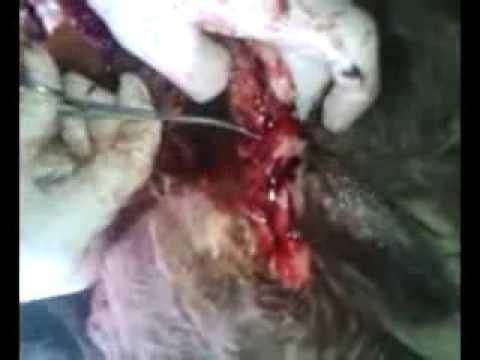 Phẫu thuật chuyển giới và xử lý hoại tử chó đực bị tàu hoả đâm