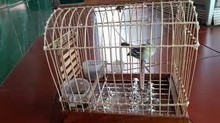 Gambar cover Burung cipow gacor ngetir