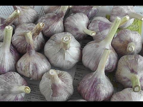 ✅ Как реально СОХРАНИТЬ ЧЕСНОК в КВАРТИРЕ до новонго урожая