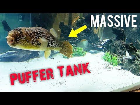 HUGE PUFFER FISH GETS NEW GIANT AQUARIUM!
