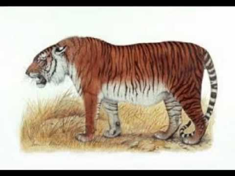 C is for Caspian Tiger