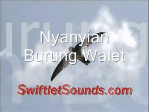Swiftlet Sound Nyanyian Burung Walet External Sound