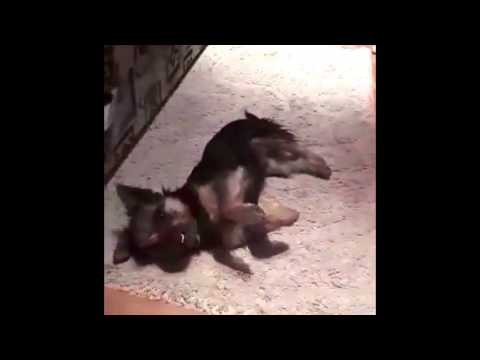 Dog Playing Dead  Is The Cutest Video To See Today