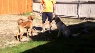 Iq K9 Training | Fallbrook Dog Training | 'leonidas' The Labrador Retriever