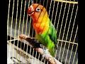 Pancingan Lovebird Ngetik Panjang Teruji Sukses Merangsang Lovebird Ngekek  Mp3 - Mp4 Download