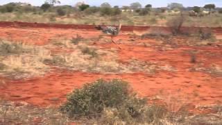 Śmieszne zwierzęta - strusie - zwolnione tempo - Kenia/Safari -