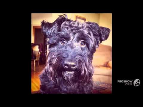 Scoodle Dog breed