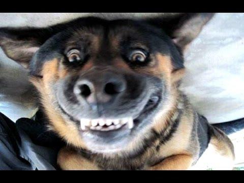 Cães engraçados latindo - um cachorro latindo engraçado vídeos. Compilação