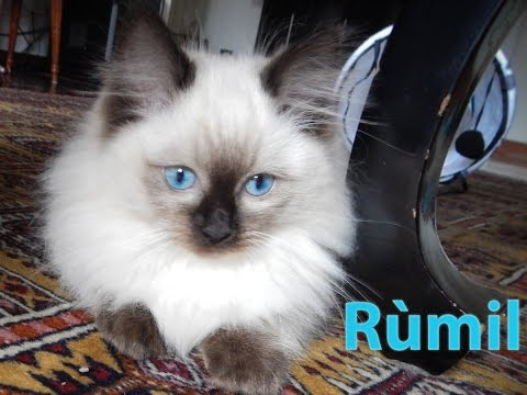 Rùmil the ragdoll cat first day in the new home 10 weeks old