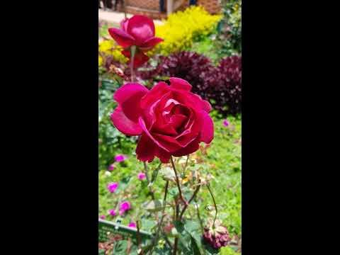Whatsapp Status - Rose Garden Flower