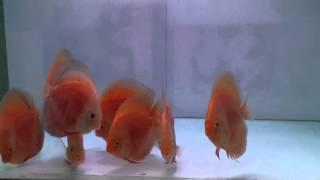Ichi Ban Red, Ich Ban Royal, Golden Red DIamond, Super Red Melon - 289