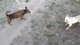 Чихуа нападает на более крупную собаку смешное видео