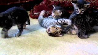 Mowgli & Kashi Kitties - 3 weeks