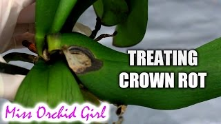 How to save Orchids from crown rot using non toxic substances