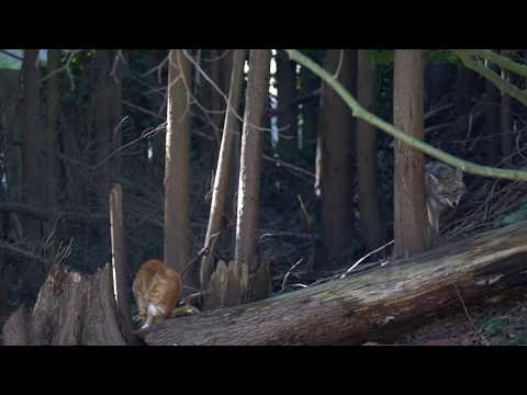 Cat was 'aggressor' in showdown with coyote, photographer says