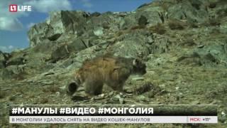 В Монголии удалось снять на видео кошек-манулов