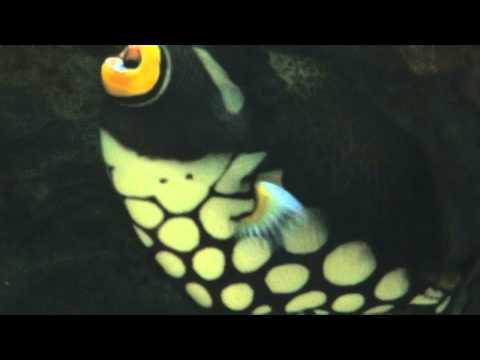 Clown Triggerfish at Artis , Aquarium Amsterdam