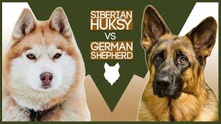 SIBERIAN HUSKY VS GERMAN SHEPHERD
