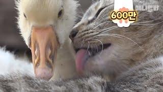 고양이를 엄마로 알던 아기거위.. 결국 ㅣ Cat And Baby Goose Believe In Fate
