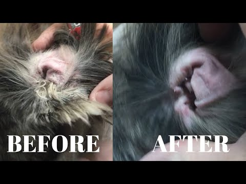 PLUCKING EAR HAIR | 6 MONTH OLD SHIH TZU