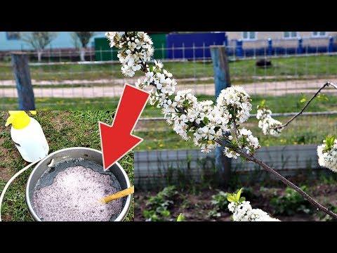 Ни одной червивой сливы и вишни не будет после такой обработки в период цветения!