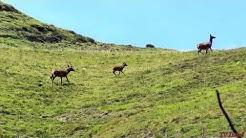 CERVIDÉS de la Barousse - FAUNE de montagne - Clip - Tv Izard Esprit des Pyrénées
