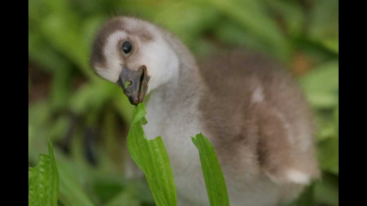 Nene Hawaii State Bird Goslings Kilauea Kauai Hawaii