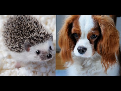 Puppy is Scared of a Little Hedgehog