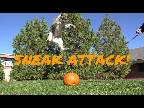 Hudson the Lynx Pounces on a Pumpkin