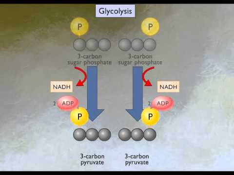 How Glycolysis Works [HD Animation] - YouTube