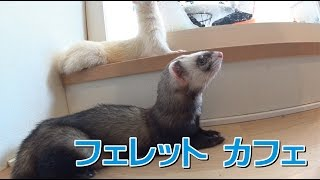 岡山市南区にあります、フェレットカフェスキップさんに行ってきました...