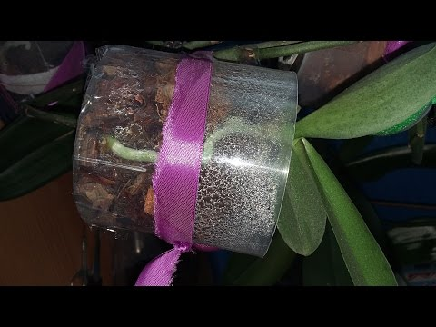 Как посадить детку фаленопсиса в горшок, на цветоносе.