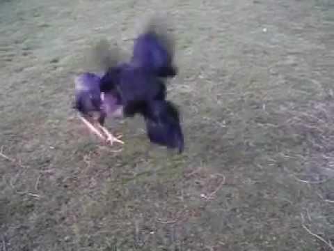 sumatra shamo