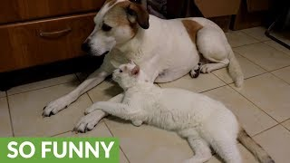 Dog totally unimpressed with overly-affectionate cat