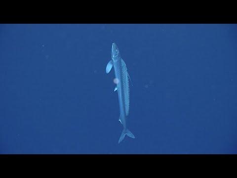 Lancetfish: Unlocking The Secrets Of The Deep