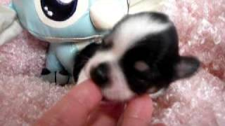 あやや子犬、9月24日誕生・白黒パーティ・男の子・スティッチ。10月10日。