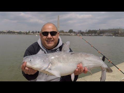 FISHING WASHINGTON DC TIDAL BASIN CATFISH ARE ACTIVE AND MOVING/Cherry Blossom Festival