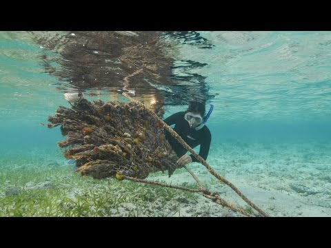 Episode 12: Caribbean Spiny Lobster | Water as Habitat