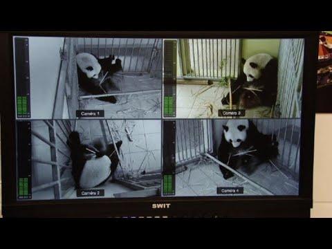 Francia espera el nacimiento de gemelos panda