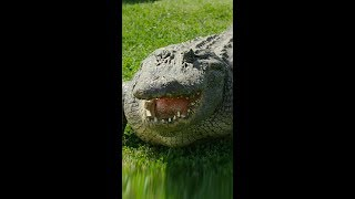 Meet Mr Cuddles, The GIANT Gator (Vertical Video)