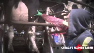 Heartless: Inside Canada's Factory Farms, with Phoebe Dykstra