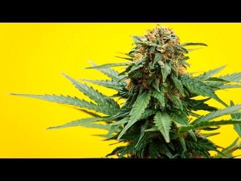 Marijuana vs. Medical Marijuana
