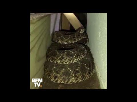 Il Retrouve Plusieurs Dizaines De Serpents à Sonnette Sous Sa Maison