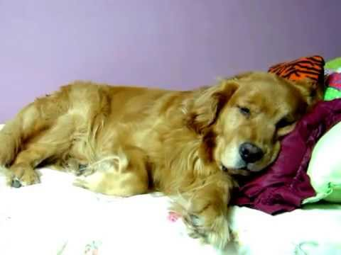 lazy-golden-retriever-dog-stealing-bed-and-pillows