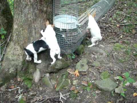 Buckley Mountain Feist Pups Youtube